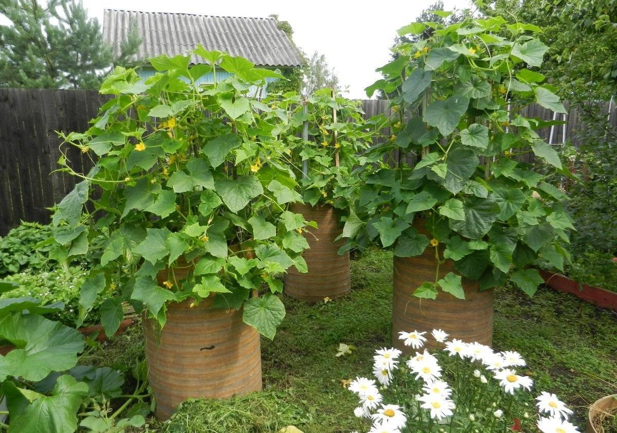 Кабачки в мешках, выращивание в бочках, пошаговая инструкция по выращиванию
