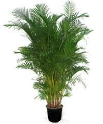 Финик канарский: как содержать и ухаживать за экзотическим растением?