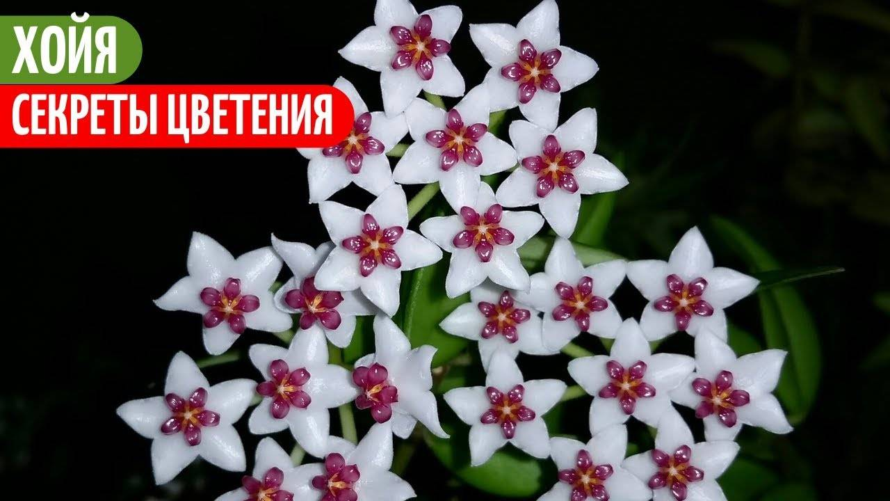 Почему хойя не цветёт? - комнатные растения. - страна мам