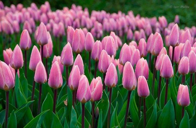 Почему не цветут тюльпаны, а только растят листья