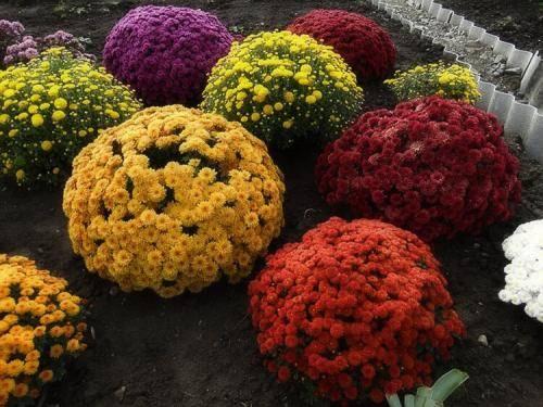 Как сохранить хризантемы зимой в открытом грунте: правила и рекомендации