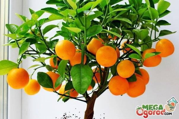 Цитрусовые комнатные растения: уход, выращивание в домашних условиях, из косточки цитрусовые комнатные растения: уход, выращивание в домашних условиях, из косточки