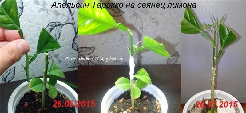 Как посадить лимон из косточки в домашних условиях и как укоренить черенок правильно? selo.guru — интернет портал о сельском хозяйстве
