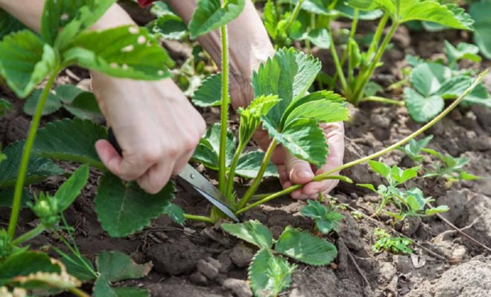 Надо ли обрывать усы у клубники во время цветения, плодоношения и в другие периоды вегетации