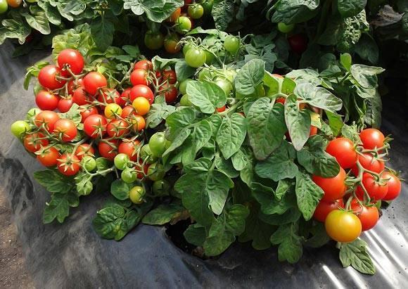 Низкорослые помидоры: лучшие сорта, описание, фото