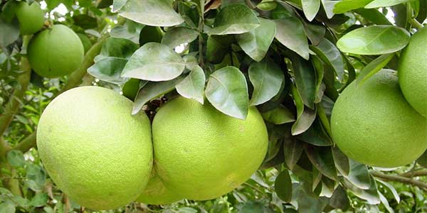 Где растёт помело, как вырастить фрукт из косточки в домашних условиях