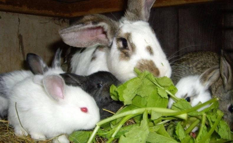 Когда и как отсаживать крольчат от крольчихи?
