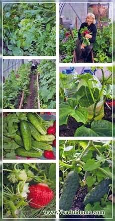 Выращивание огурцов в Подмосковье