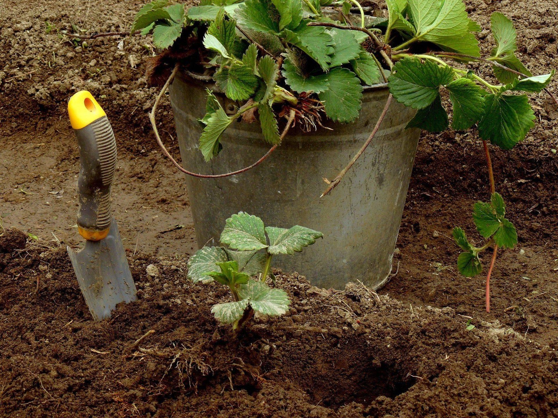 Подкормка клубники весной для большого урожая: как и чем удобрять, сроки, схемы, этапы внесения, народные средства