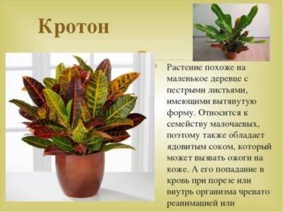 Кротон - фото, размножение, как ухаживать, виды растения, пересадка, обрезка, болезни