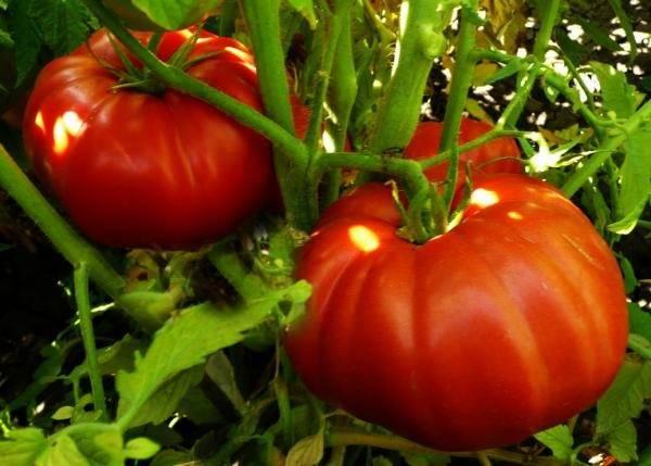 Томат чудо рынка: описание сорта, отзывы, фото, характеристика | tomatland.ru