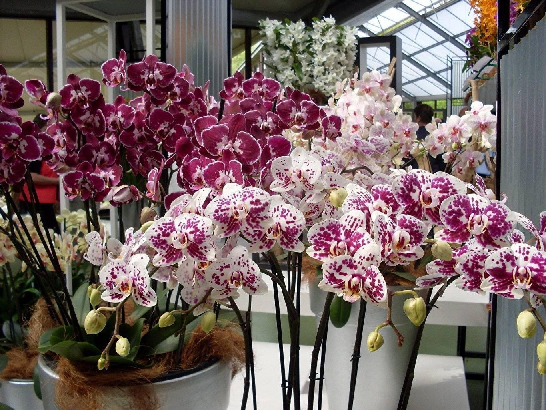 Орхидея выпустила цветонос: что делать дальше, когда растение дало стебель, как ухаживать, когда оно выбросило стрелку и появились бутоны, какие бывают проблемы? selo.guru — интернет портал о сельском хозяйстве