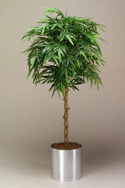 Бамбук в домашних условиях — посадка, выращивание и уход за комнатным бамбуком