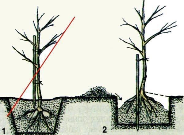 Посадка яблони весной - саженцами в открытый грунт и семенами