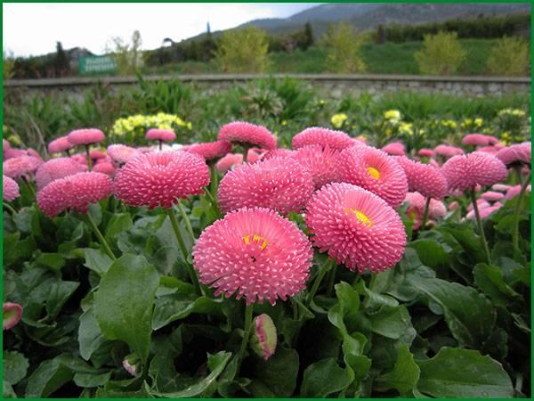 Растение с нежным названием – маргаритка: фото цветов, выращивание, сорта