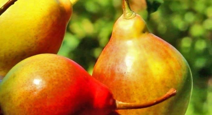Описание сорта груши десертная россошанская поздняя