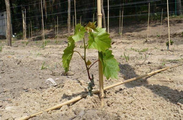 Как посадить виноград весной: как посадить саженцы, как сажать черенки, подготовка к посадке