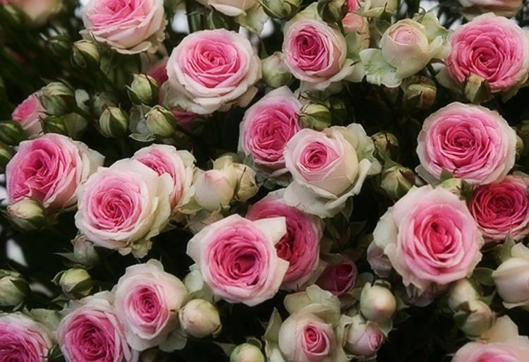 Выращивание голландских роз