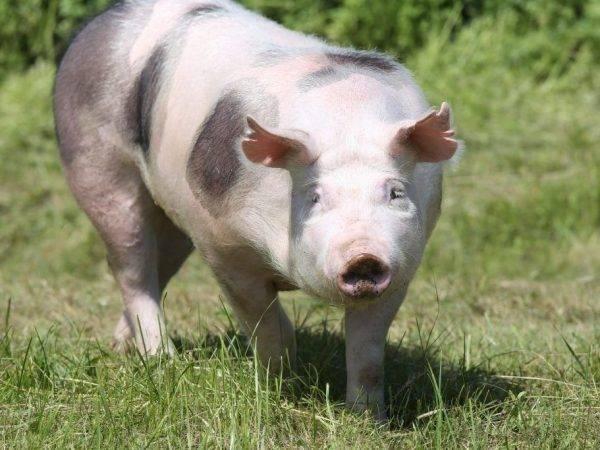 Какие методы разведения используются в свиноводстве