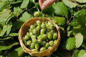 Основные правила и секреты выращивания фундука. как обеспечить необходимый уход и получить должный урожай орехов?