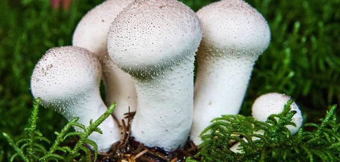 Описание и места распространения гриба горькушки, фото