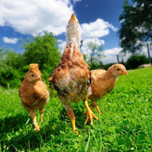 Антибиотики для кур — обзор препаратов широкого спектра действия