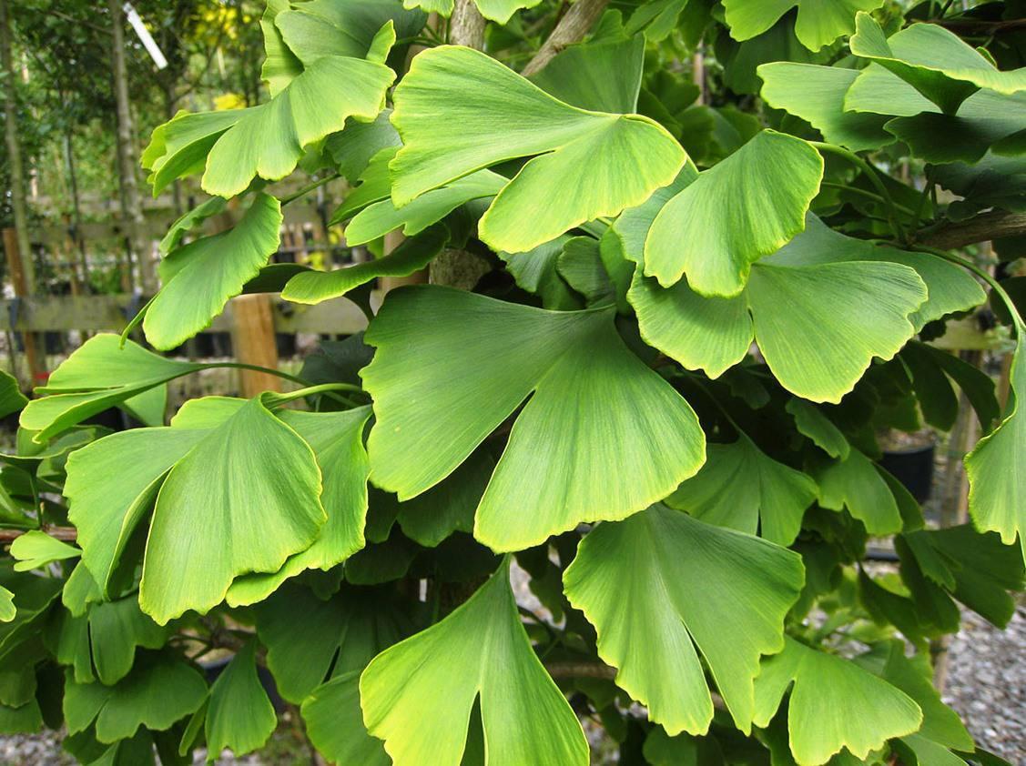 Гинкго - популярные виды, выращивание, размножение, пересадка
