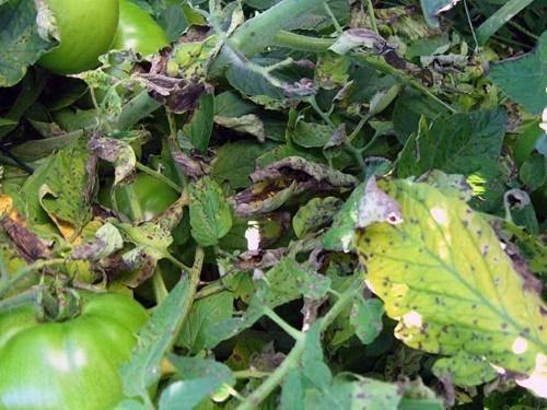 Септориоз томатов