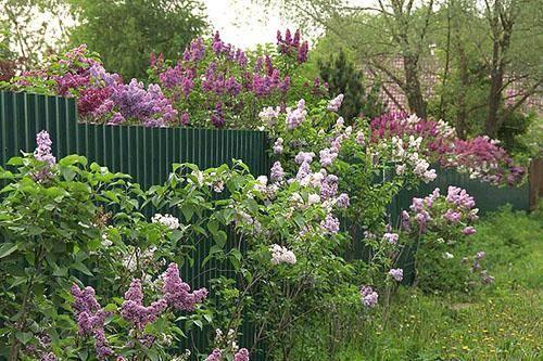 Сирень: посадка и уход в открытом грунте, выращивание в саду, виды и сорта с фото