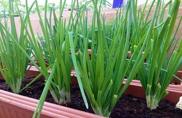Лук-батун: выращивание из семян на огороде