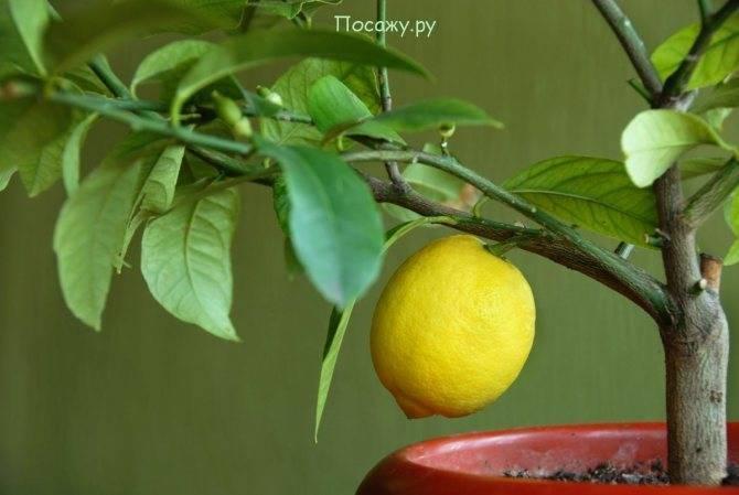 Как привить лимон в домашних условиях: инструкция