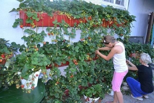 Выращивание ампельной земляники на балконе и уход за ней