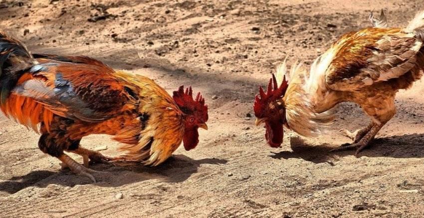 Сколько куриц на одного петуха нужно заводить в хозяйстве?