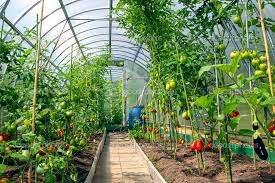 Посадка помидоров в теплицу из поликарбоната размерами 3 на 4, 6, 8 м и уход за ними: схема формирования кустов томатов и на каком расстоянии нужно размещать? русский фермер