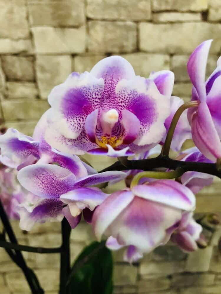 Орхидея «легато»: описание и уход