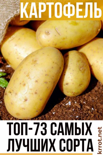 Описание и характеристика картофеля сорта венета