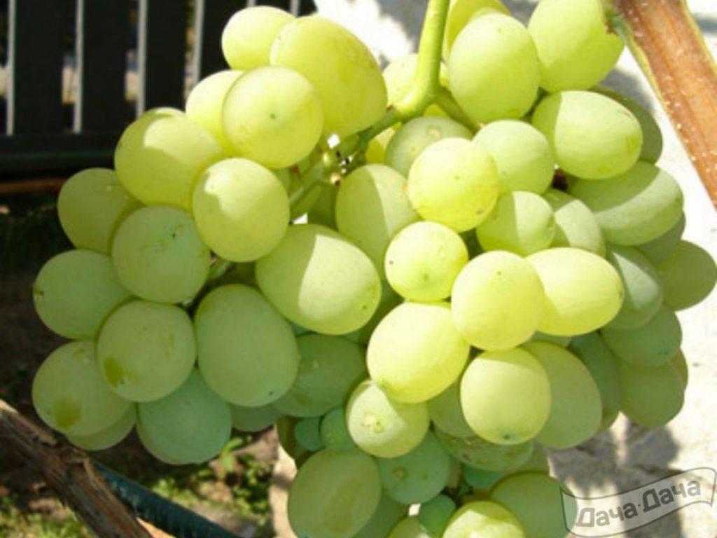 Виноград лора: описание сорта, характеристики, уход, отзывы