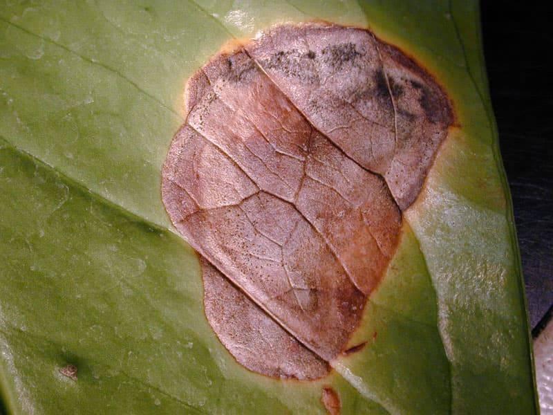 Как лечить болезни листьев антуриума, фото