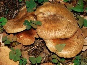 Свинухи - фото, описание и как готовить. гриб свинушка: польза и вред