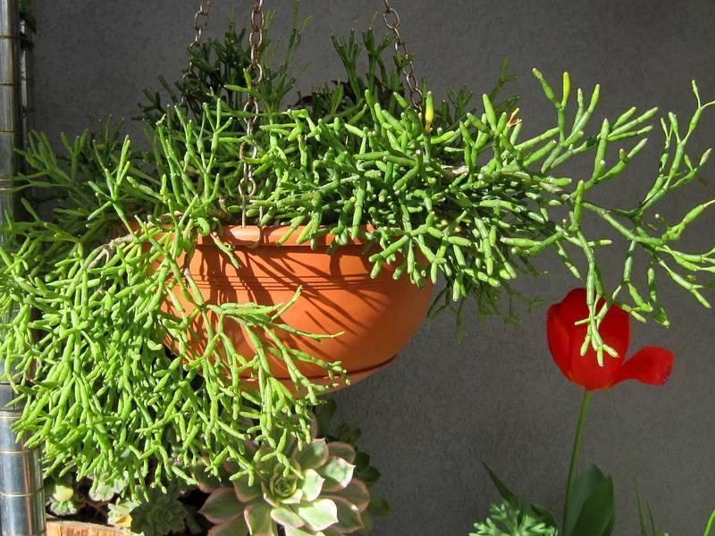 Хатиора - уход за цветком в домашних условиях + фото