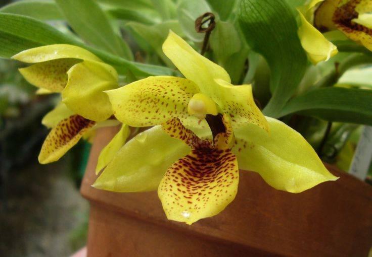 Фаленопсис синголо – орхидея с одним цветком. описание, фото и нюансы выращивания