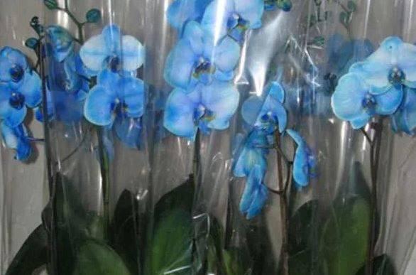 Орхидея ванда: сорта с фото, включая синие и голубые, выращивание в домашних условиях, в том числе в стеклянной колбе и вазе, посадка, уход, и как заставить цвести? русский фермер
