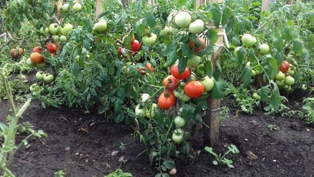 Сорт прибывший к нам из франции — томат дино f1: описание помидоров и их характеристики