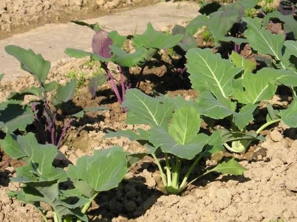Капуста кольраби, посадка семенами и уход в открытом грунте