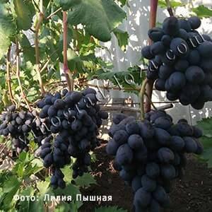 Виноград каталония: описание сорта, правила посадки и ухода, отзывы