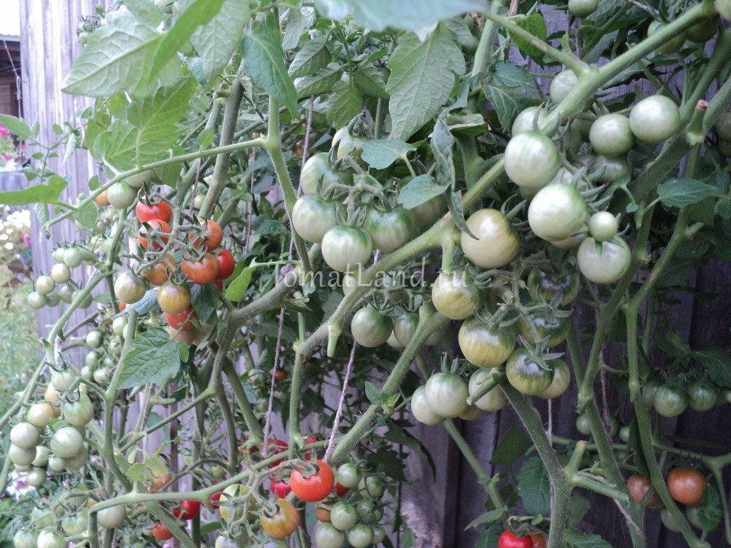 Помидоры черри: какие семена выбрать, а также лучшие сорта томатов краски, низкорослый блосэм, ликопа, саша f1, банано, черные, карликовые, желтые и самые крупные