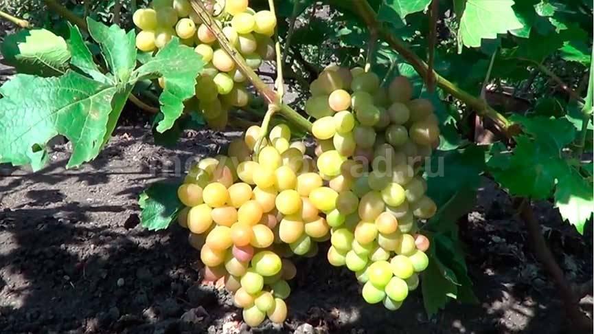 Сорт винограда августин, описание с характеристикой и отзывами, особенности посадки и выращивания, фото