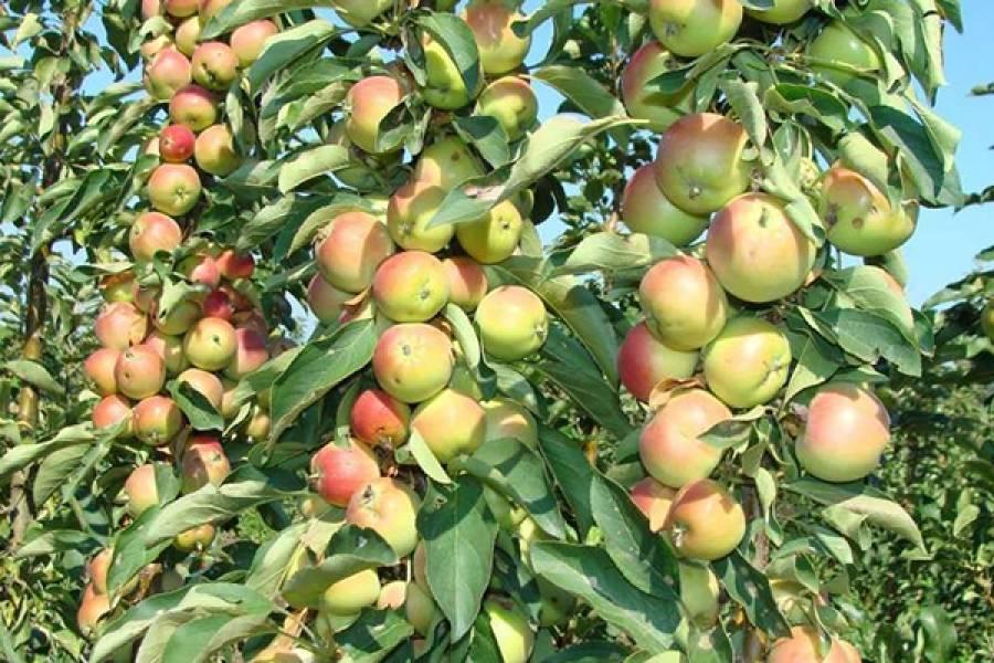 Яблоня созвездие: особенности сорта и ухода