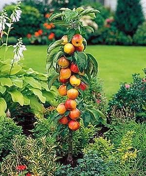 Обрезка колоновидных яблонь: правила и схема обрезки колоновидных яблонь весной |