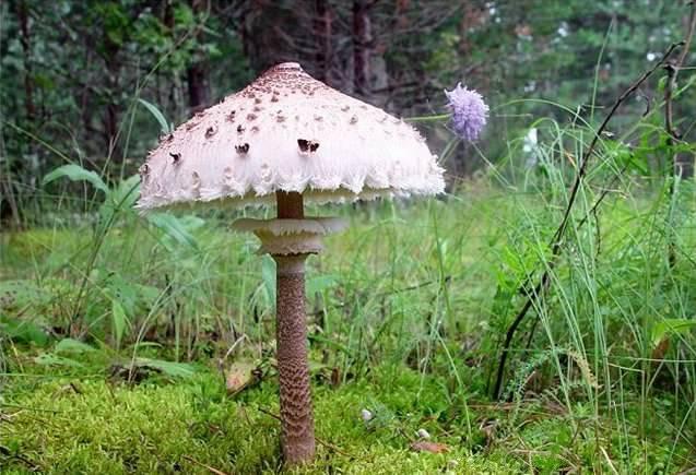 Описание гриба курятник